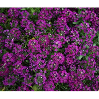 Picture of Alyssum Clear Crystal Purple Shades