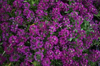 Picture of Alyssum Wonderland Deep Purple