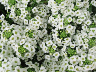 Picture of Alyssum Clear Crystal White
