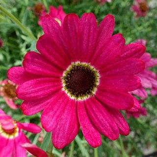Picture of Argyranthemum Grand Daisy Dark Pink
