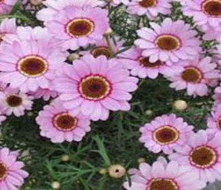 Picture of Argyranthemum Grand Daisy Pink Halo