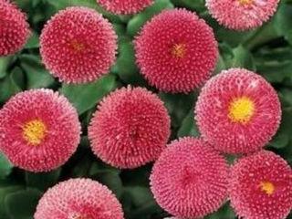 Picture of Bellis Bellissima Rose