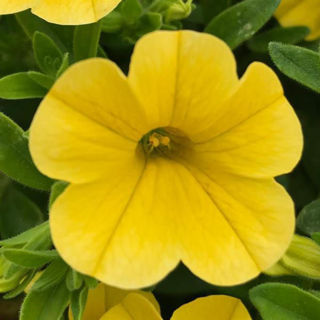 Picture of Calibrachoa MF Uno Yellow