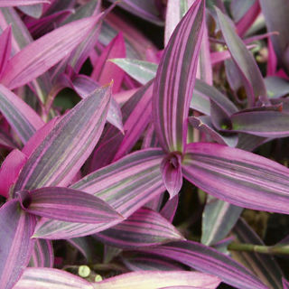 Picture of Setcreasea Purple Variegated