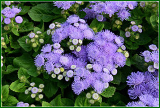 Picture of Ageratum Hawaii Blue 5.0