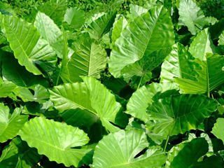 Picture of Alocasia California