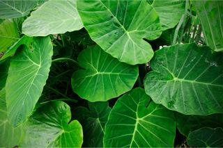 Picture of Alocasia Portodora Green