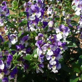 Picture of Angelonia Alonia Big Bicolor Purple