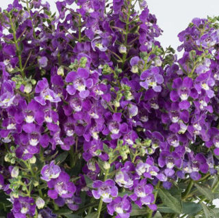 Picture of Angelonia Alonia Dark Lavender