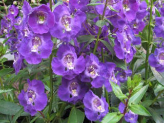Picture of Angelonia Angelface Blue