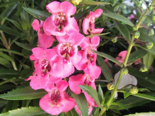 Picture of Angelonia Angelface Perfectly Pink