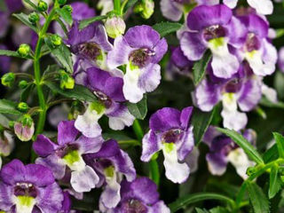 Picture of Angelonia Angelface Wedgewood Blue