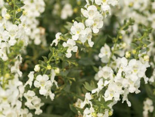 Picture of Angelonia Angelface White