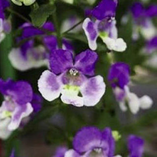 Picture of Angelonia Archangel Blue Bicolor