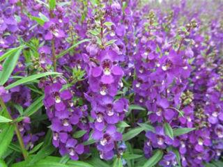 Picture of Angelonia Serenita Purple