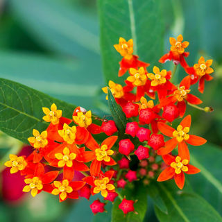 Picture of Asclepias Red Butterfly