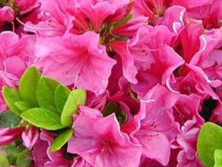 Picture of Azalea Pink