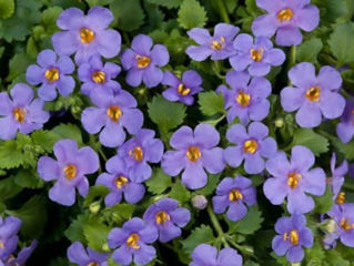 Picture of Bacopa Gulliver Blue