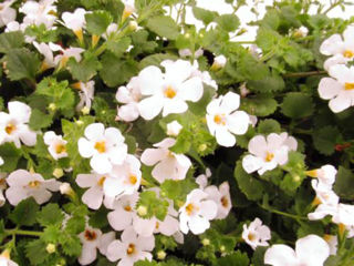 Picture of Bacopa Gulliver White