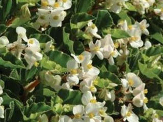 Picture of Begonia Baby Wing White