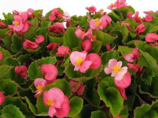 Picture of Begonia Bada Bing Rose w/ Green Leaf
