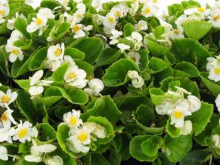 Picture of Begonia Bada Bing White w/ Green Leaf
