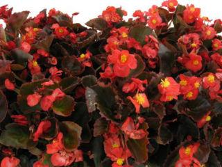 Picture of Begonia Bada Boom Red w/ Bronze Leaf