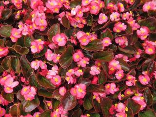 Picture of Begonia Bada Boom Rose w/ Bronze Leaf