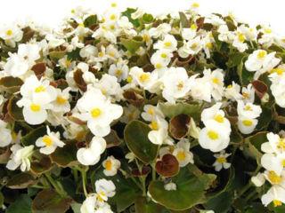 Picture of Begonia Bada Boom White w/ Bronze Leaf