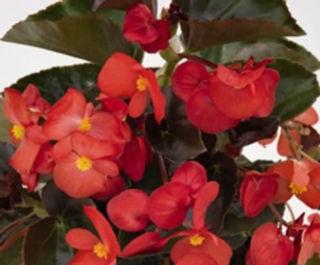 Picture of Begonia Big Red w/ Dark Leaf