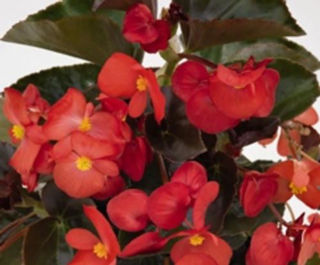 Picture of Begonia Big Red w/ Dark Leaf
