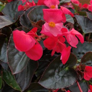 Picture of Begonia Big Rose w/ Dark Leaf