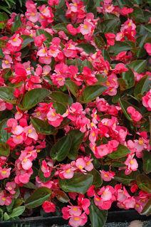 Picture of Begonia Big Rose w/ Green Leaf