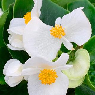 Picture of Begonia Big White w/Green Leaf