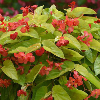 Picture of Begonia Canary Red
