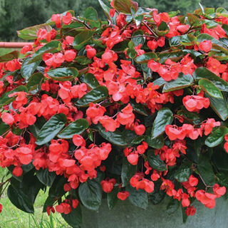 Picture of Begonia Dragon Wing Red