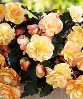Picture of Begonia Fragrant Falls Asst.