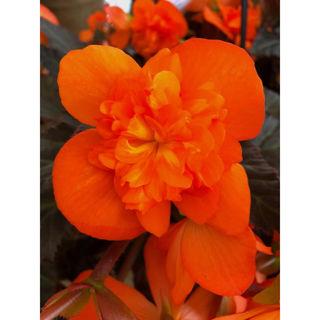 Picture of Begonia Iconia Portofino Hot Orange