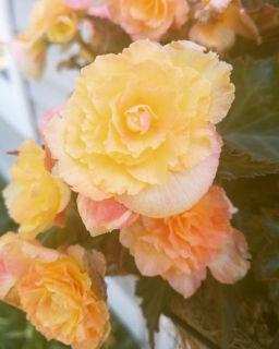 Picture of Begonia Iconia Portofino Hot Yellow