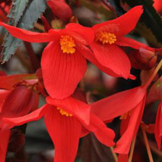 Picture of Begonia Mistral Dark Red