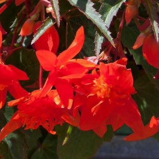 Picture of Begonia Mistral Dbl Orange