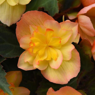 Picture of Begonia Mistral Double Apricot