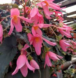 Picture of Begonia Mistral Pink