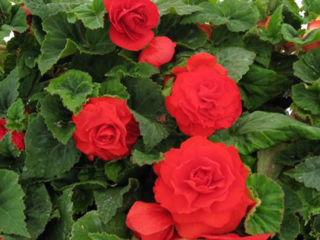 Picture of Begonia Non Stop Deep Red
