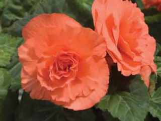 Picture of Begonia Non Stop Deep Salmon