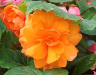Picture of Begonia Non Stop Orange
