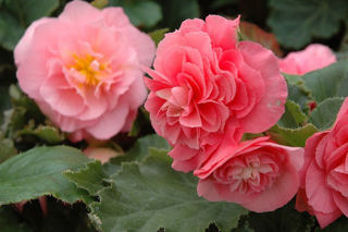 Picture of Begonia Non Stop Pink