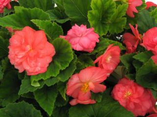 Picture of Begonia Non Stop Rose