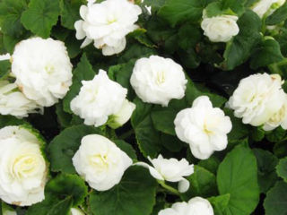 Picture of Begonia Non Stop White
