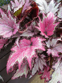 Picture of Begonia Rex Jurassic Pink Shades